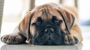 Puppy Dog Pet 1920x1280 wallpaper
