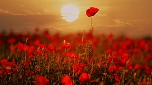 Flower Nature Poppy Red Flower Summer Sunrise 2048x1478 Wallpaper