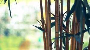 Bamboo Plant Tree 2560x1707 wallpaper
