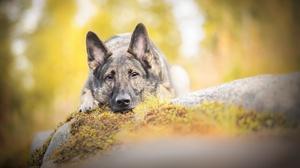 Dog Pet Muzzle Stare Depth Of Field Resting 2560x1628 wallpaper