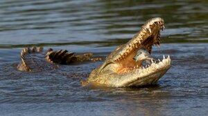 Nature Animals Johan Wandrag Fish South Africa Crocodile Fangs River Water Reptile 2000x1429 Wallpaper
