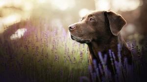 Dog Flower Labrador Retriever Pet 2048x1365 Wallpaper