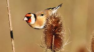 Bird European Goldfinch Goldfinch Wildlife 2048x1227 Wallpaper