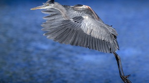 Animal Great Blue Heron 2000x1333 Wallpaper