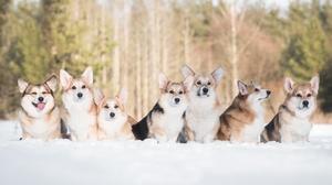 Corgi Depth Of Field Dog Pet Snow Winter 2048x1152 Wallpaper