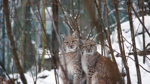 Lynx Snow Wildlife Winter 2000x1333 wallpaper