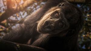 Animal Gorilla 3648x2439 Wallpaper