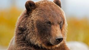 Grizzly Wildlife Predator Animal 2048x1365 wallpaper