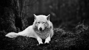 Black Amp White Lying Down Wolf Predator Animal 1920x1200 Wallpaper