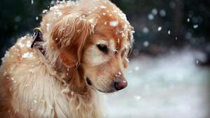 Animal Dog Golden Retriever Snow Snowfall 2800x1867 Wallpaper