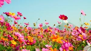 Cosmos Flower Meadow Orange Flower Pink Flower Summer 4896x3264 Wallpaper