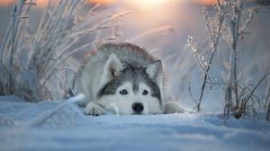 Dog Husky Pet Snow Winter 2560x1707 Wallpaper