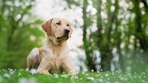 Bokeh Depth Of Field Dog Labrador Retriever Pet 2560x1708 Wallpaper