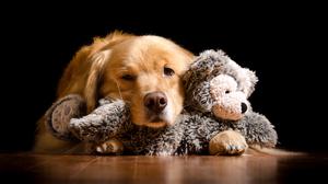 Dog Golden Retriever Pet Stuffed Animal 3200x1800 Wallpaper