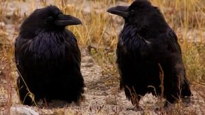 Animal Crow 1400x900 Wallpaper