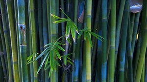 Bamboo 1366x768 Wallpaper