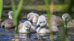 Baby Animal Bird Cygnet Swan Wildlife 2048x1270 Wallpaper