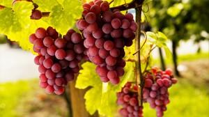 Fruit Grapes Vine 5595x3870 Wallpaper