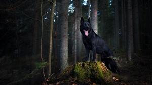 Dog German Shepherd Pet 2048x1365 wallpaper