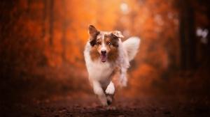 Australian Shepherd Depth Of Field Dog Pet 2048x1365 wallpaper