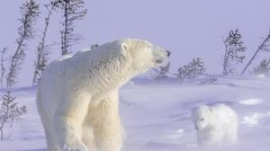 Baby Animal Cub Polar Bear Snow Wildlife Predator Animal 1920x1280 Wallpaper