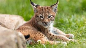 Baby Animal Big Cat Cub Lynx Wildlife 2000x1333 Wallpaper
