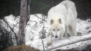 Wolf Animals Mammals Outdoors 1920x1280 Wallpaper