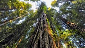 Canopy Earth Redwood Tree 3840x2160 Wallpaper