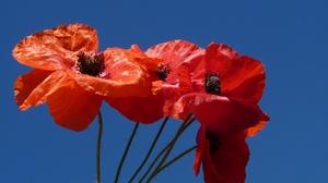 Flower Macro Petal Poppy 2048x1305 Wallpaper