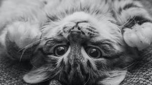 Cats Monochrome Looking At Viewer Closeup 3034x2023 Wallpaper