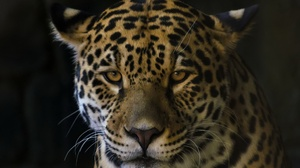Big Cat Jaguar Wildlife Predator Animal 2048x1318 wallpaper