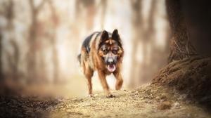 Depth Of Field Dog German Shepherd Pet 4456x2973 Wallpaper