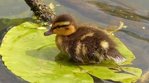 Baby Animal Bird Duck Duckling Wildlife 2048x1536 wallpaper