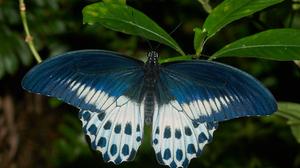 Blue Mormon Butterfly Swallowtail Butterfly 6000x4000 Wallpaper