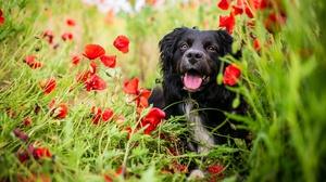 Dog Pet Poppy Red Flower 1920x1080 Wallpaper