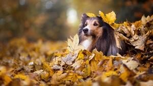 Depth Of Field Dog Fall Leaf Nature Pet Shetland Sheepdog 2560x1440 Wallpaper