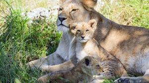 Baby Animal Big Cat Cub Lion Wildlife Predator Animal 6144x4096 wallpaper