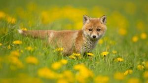 Baby Animal Cub Dandelion Fox Wildlife 2048x1366 Wallpaper