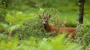 Deer Roe Deer Wildlife 2880x1911 wallpaper
