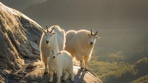 Goat Wildlife Baby Animal 2048x1300 Wallpaper