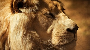 Big Cat Lion Wildlife Predator Animal 3840x2560 wallpaper