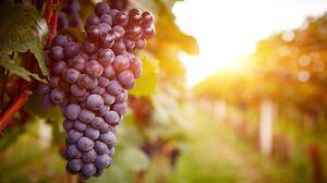 Depth Of Field Fruit Grapes Sunny Vineyard 5472x3648 Wallpaper