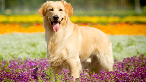 Depth Of Field Dog Golden Retriever Pet 5184x3456 Wallpaper