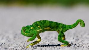 Animal Chameleon 2560x1600 Wallpaper