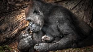 Baby Animal Gorilla Primate Wildlife 2999x2000 Wallpaper