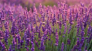 Flower Lavender Purple Flower 3000x2000 Wallpaper