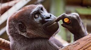 Animal Gorilla 3200x2100 Wallpaper