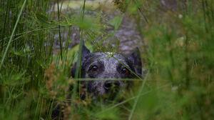 Australian Cattle Dog Dog Pet Plant Stare 2048x1365 wallpaper