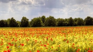 Field Flower Nature Poppy 2560x1600 Wallpaper