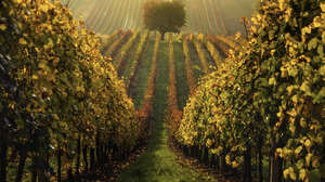 Field Trees Landscape Photography Perspective Pawel Uchorczak Vineyards Vineyard Grass Fall Leaves M 1920x1280 Wallpaper